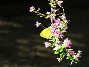 IMG_0342 萩と蝶